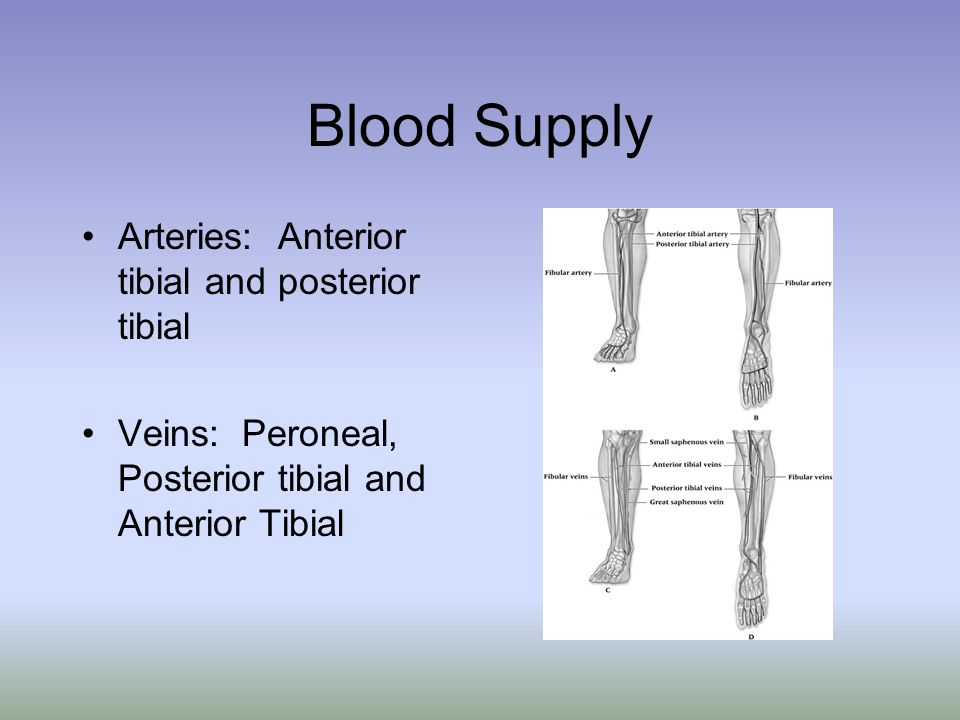 Blood Supply Arteries: Anterior tibial and posterior tibial
