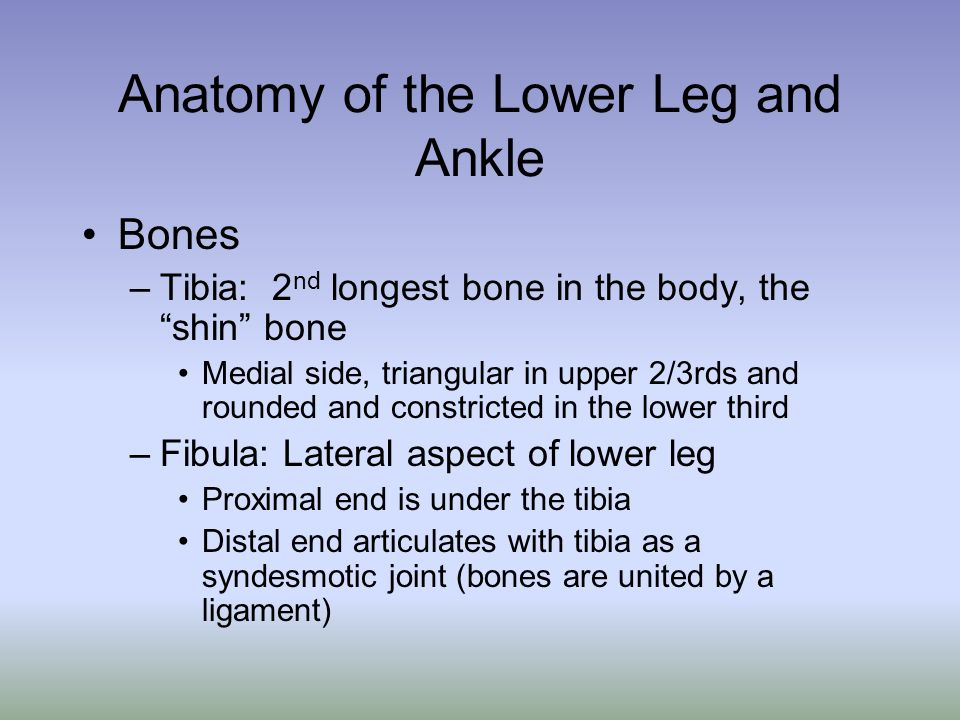 Anatomy of the Lower Leg and Ankle