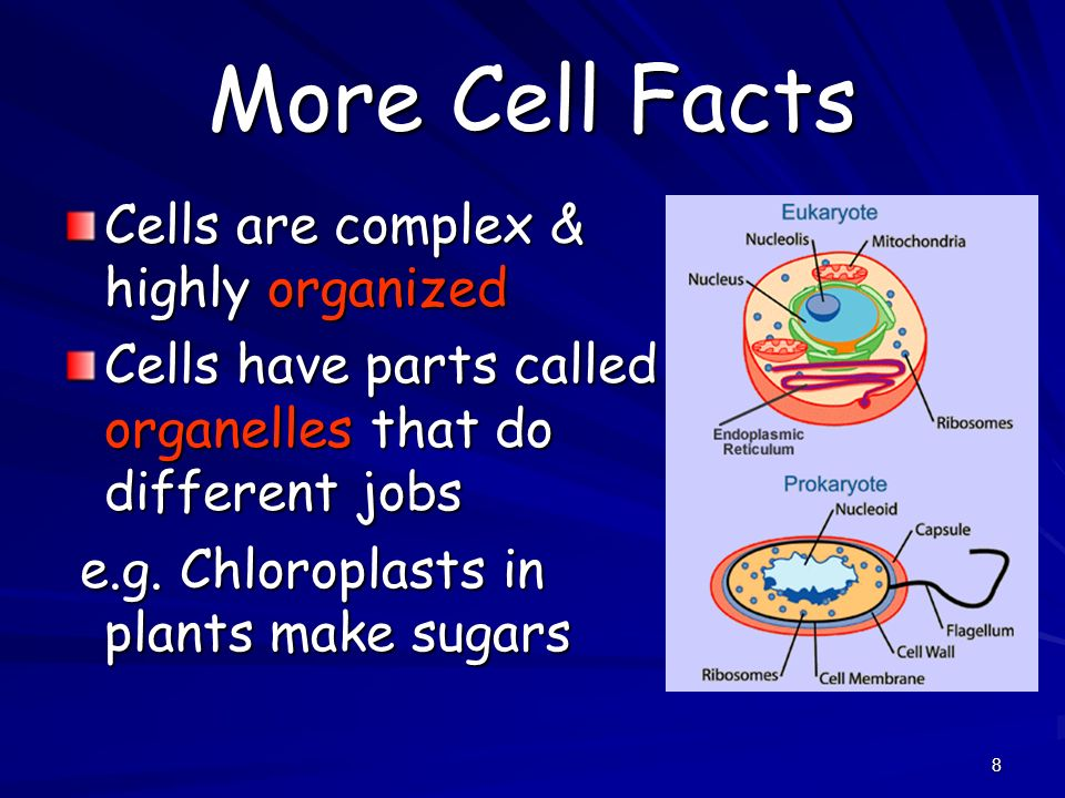 More Cell Facts Cells are complex & highly organized