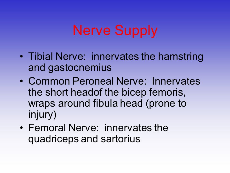 Nerve Supply Tibial Nerve: innervates the hamstring and gastocnemius