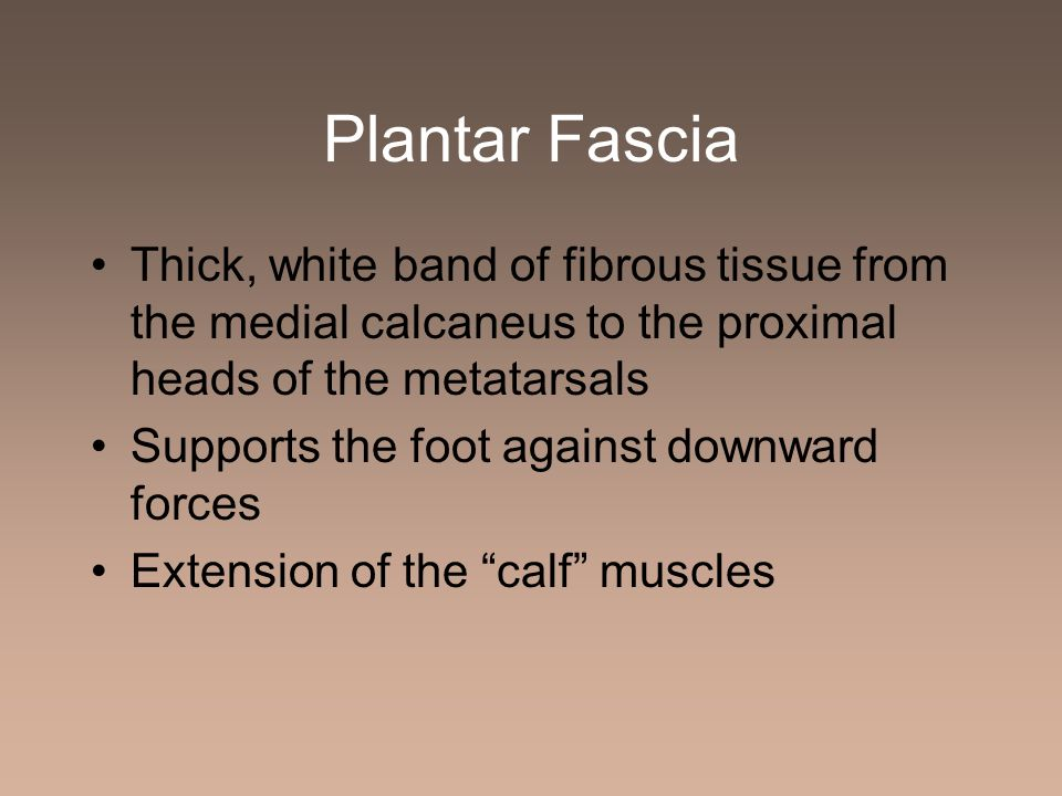 Plantar Fascia Thick, white band of fibrous tissue from the medial calcaneus to the proximal heads of the metatarsals.