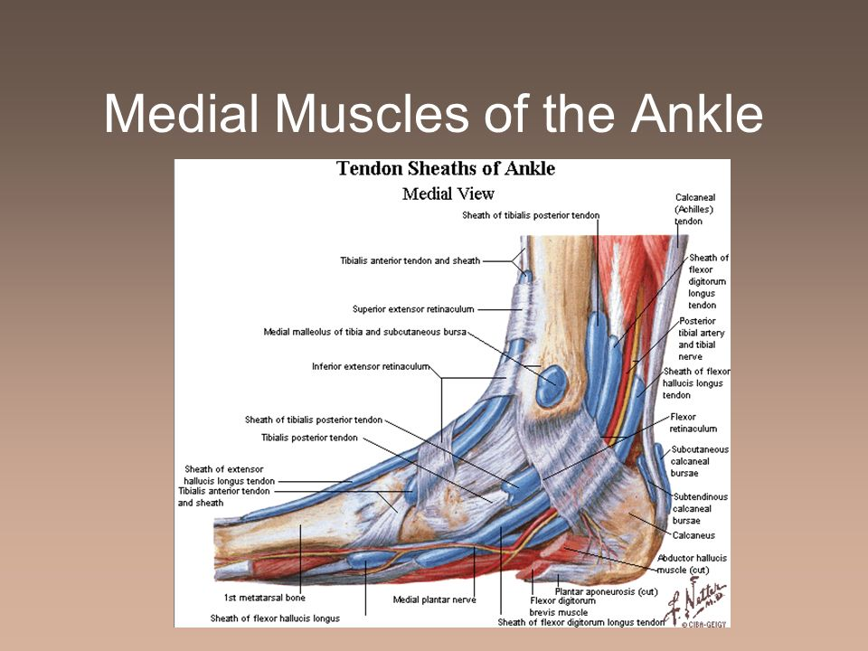Medial Muscles of the Ankle