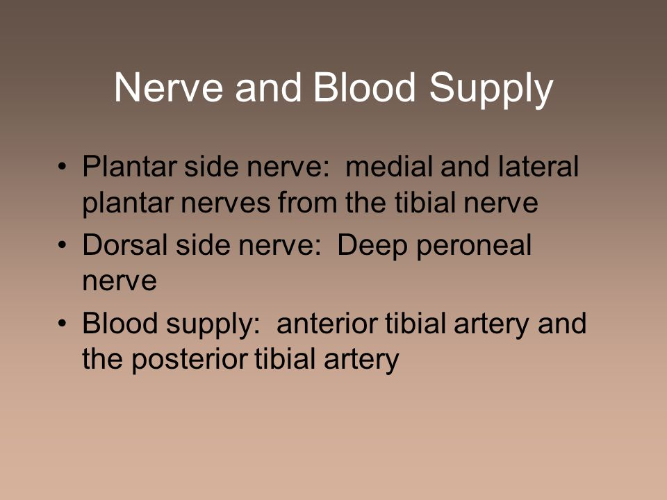 Nerve and Blood Supply Plantar side nerve: medial and lateral plantar nerves from the tibial nerve.