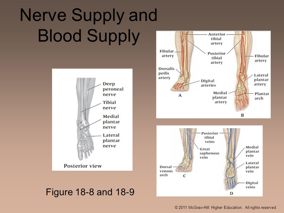 Nerve Supply and Blood Supply