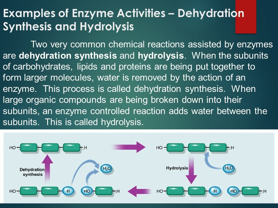 Examples of Enzyme Activities – Dehydration Synthesis and Hydrolysis