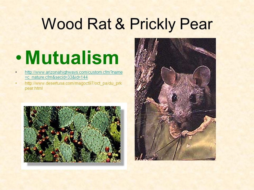 Mutualism Wood Rat & Prickly Pear