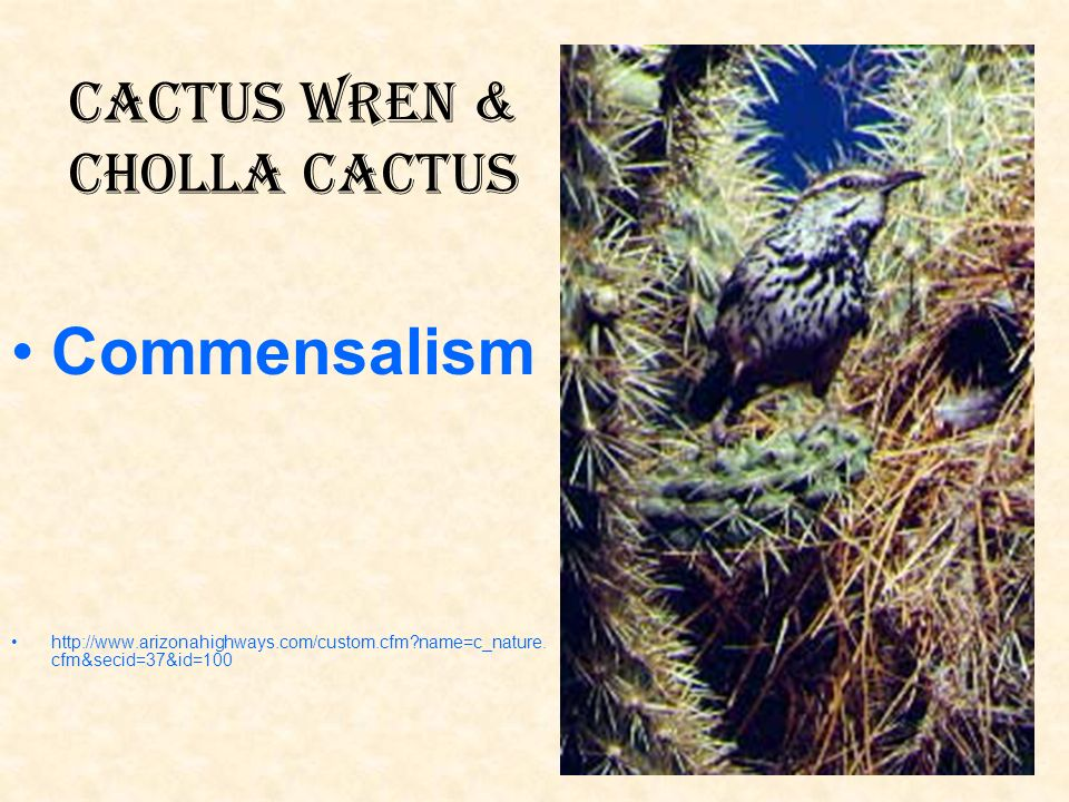 Cactus Wren & Cholla Cactus