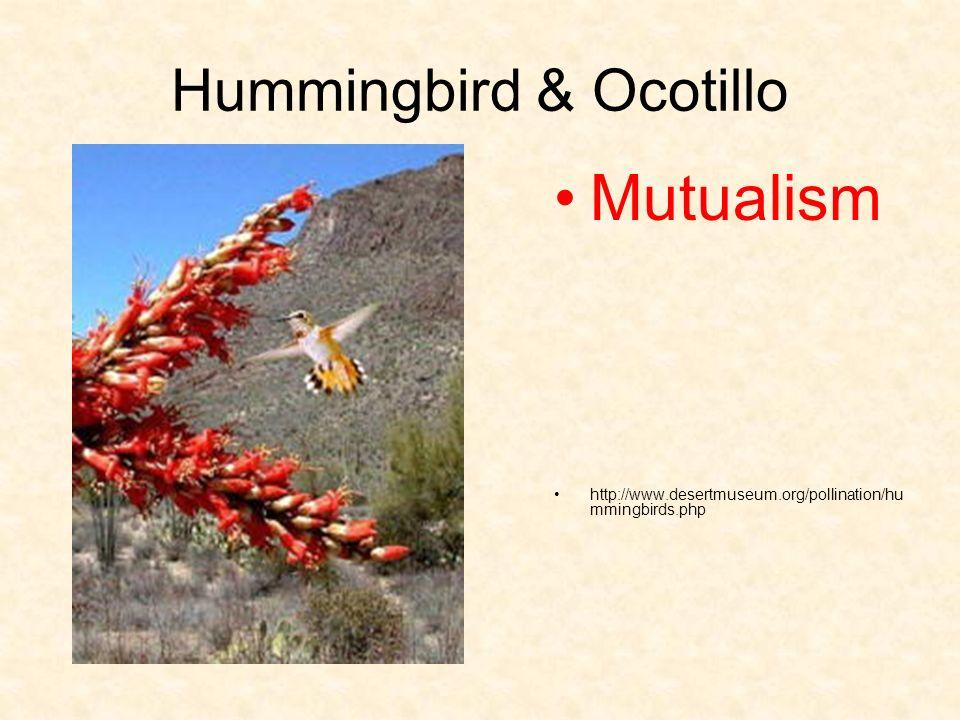 Hummingbird & Ocotillo