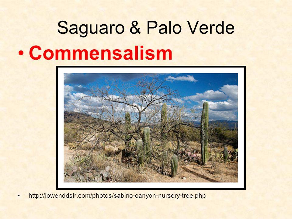 Commensalism Saguaro & Palo Verde