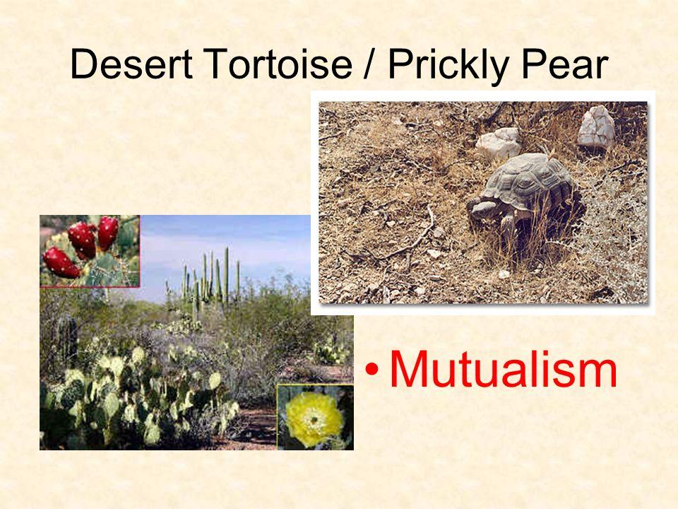 Desert Tortoise / Prickly Pear