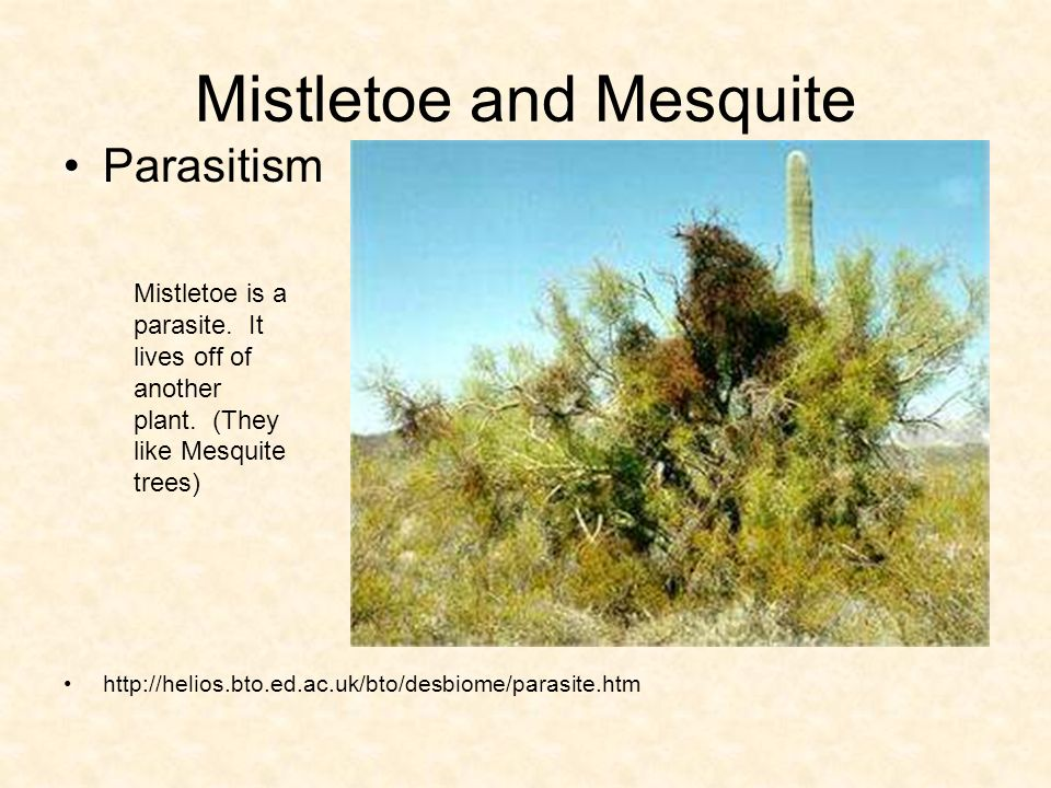 Mistletoe and Mesquite