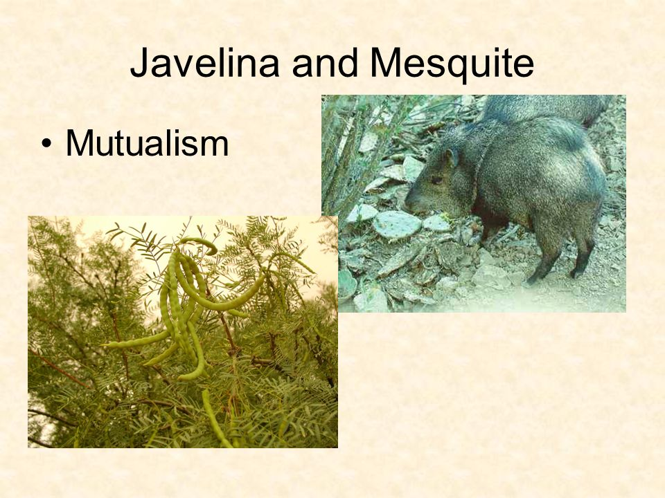 Javelina and Mesquite Mutualism