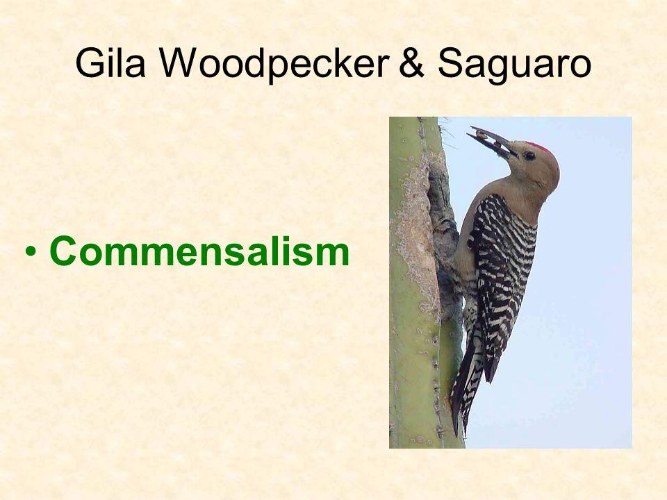 Gila Woodpecker & Saguaro