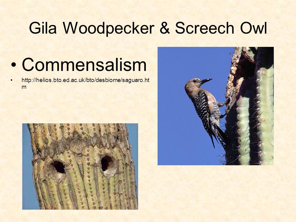 Gila Woodpecker & Screech Owl