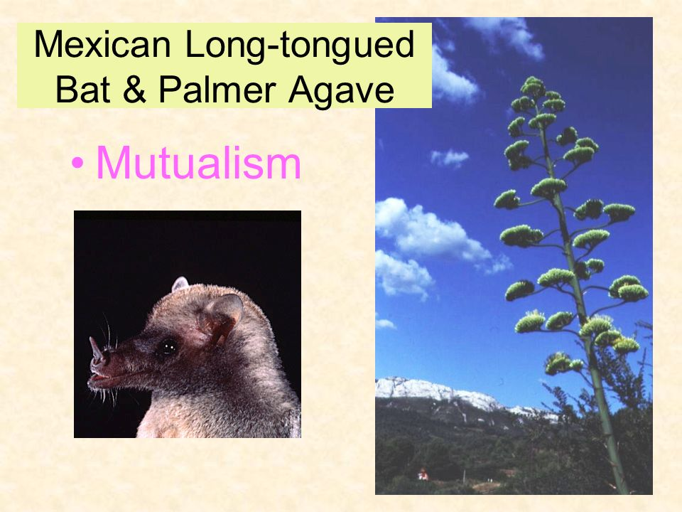 Mexican Long-tongued Bat & Palmer Agave