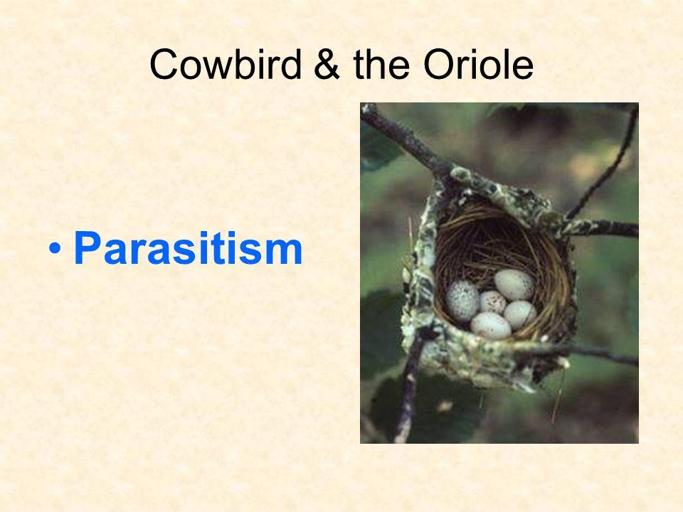 Cowbird & the Oriole Parasitism