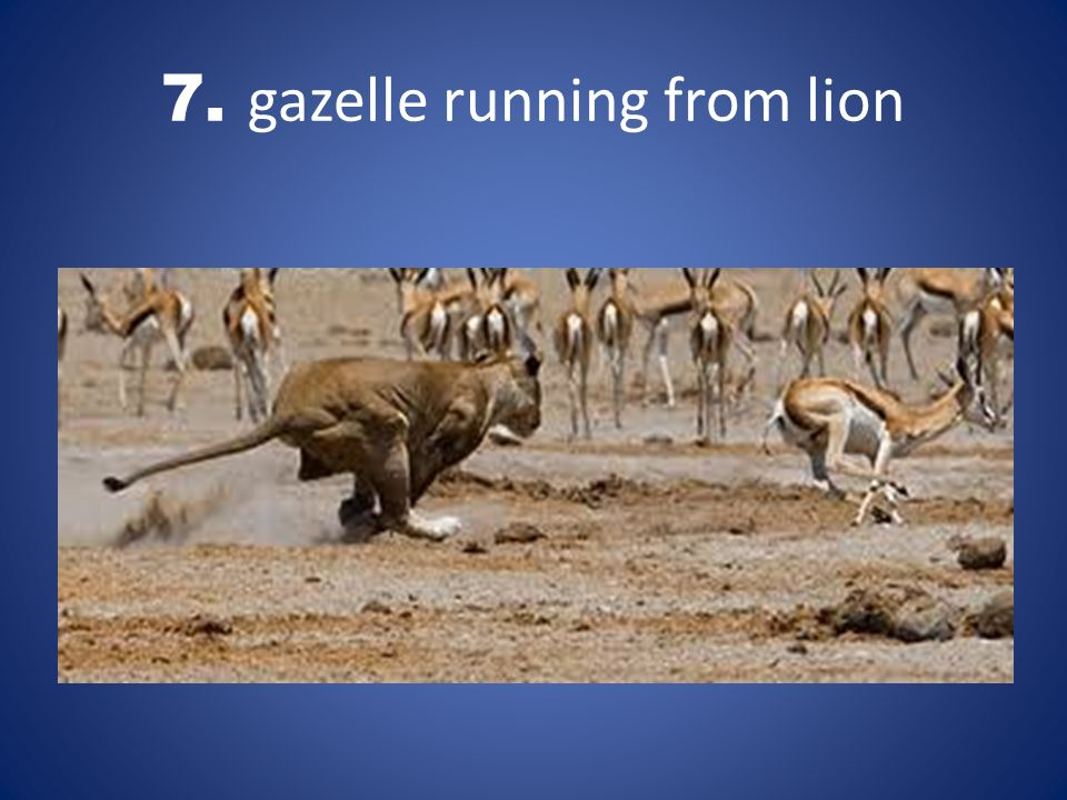 7. gazelle running from lion