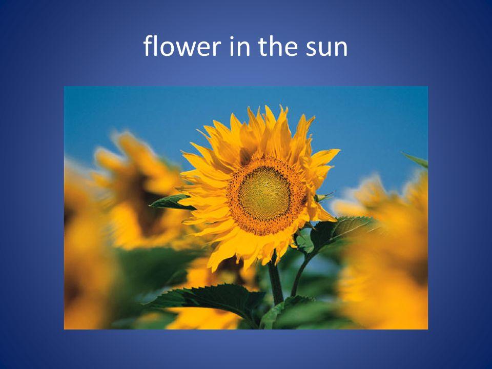 flower in the sun