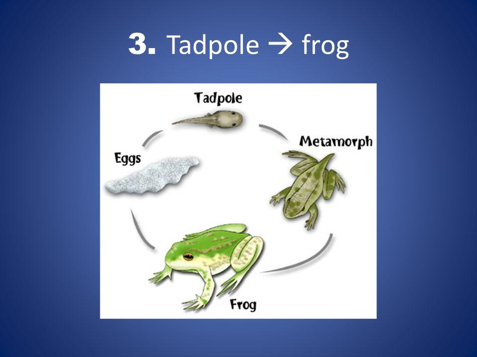 3. Tadpole  frog