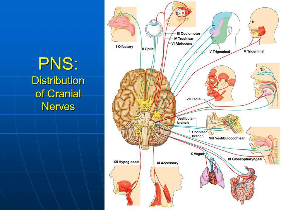 PNS: Distribution of Cranial Nerves