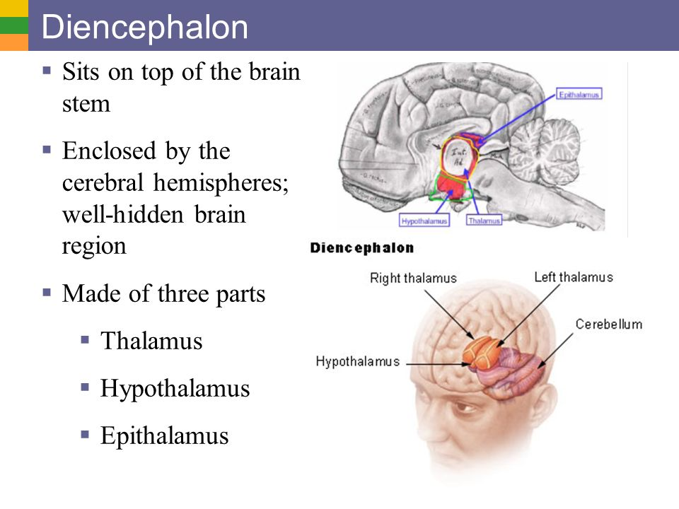 Diencephalon Sits on top of the brain stem