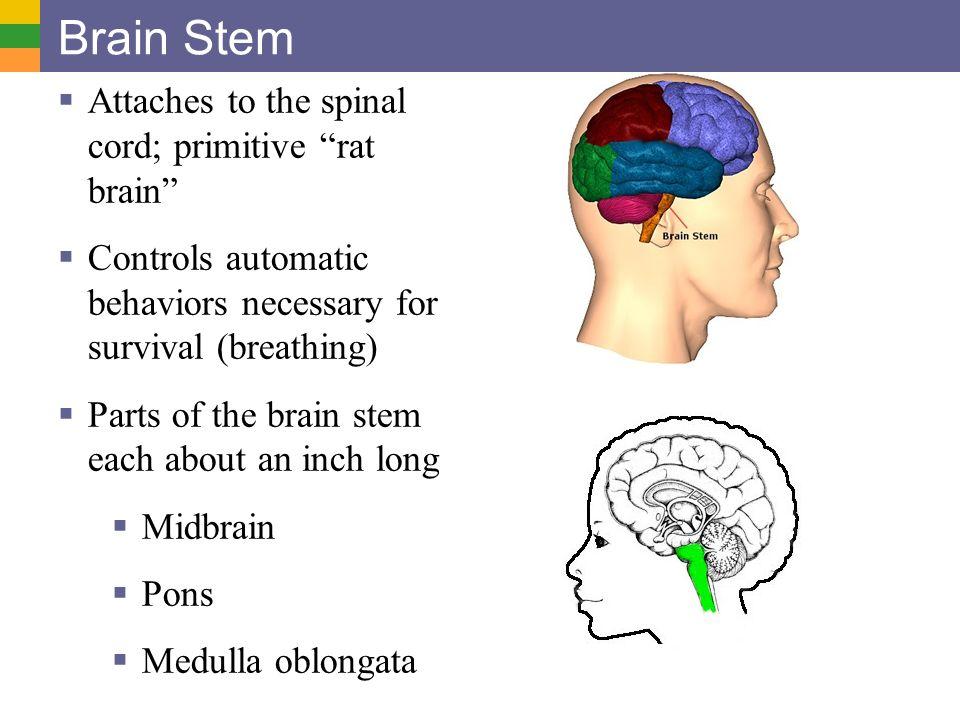 Brain Stem Attaches to the spinal cord; primitive rat brain