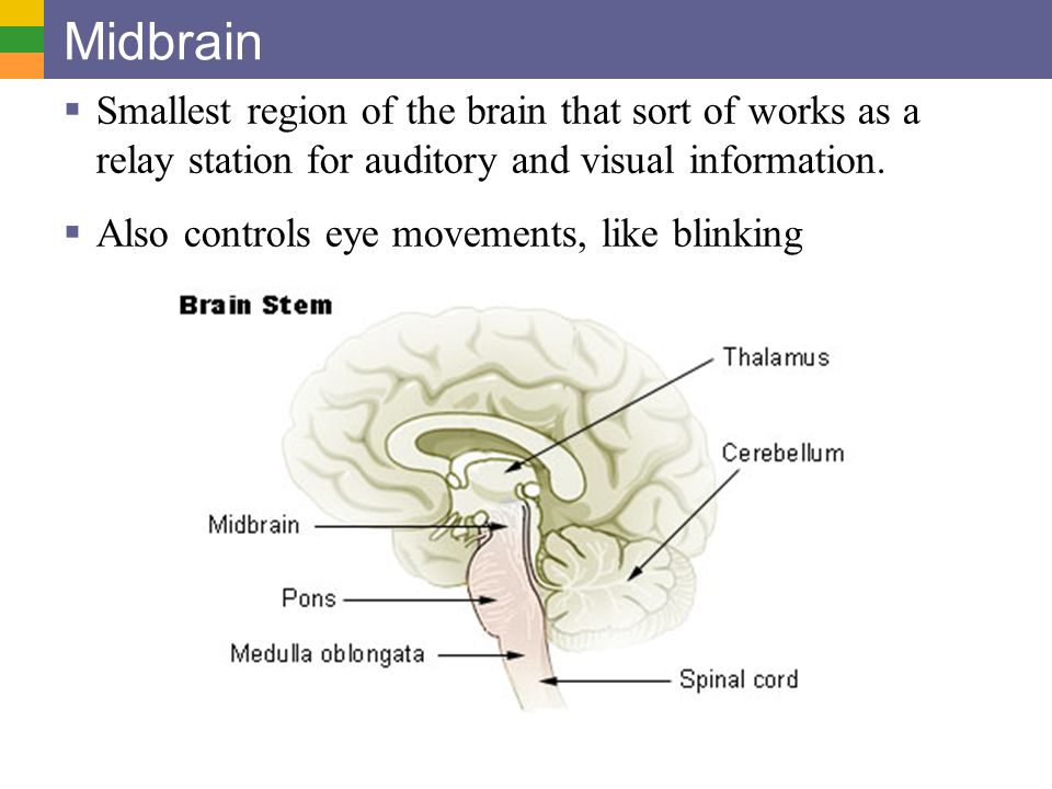 Midbrain Smallest region of the brain that sort of works as a relay station for auditory and visual information.