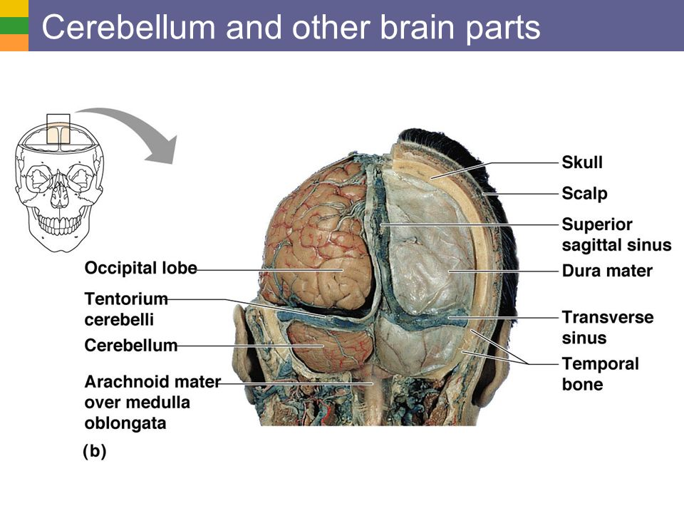 Cerebellum and other brain parts