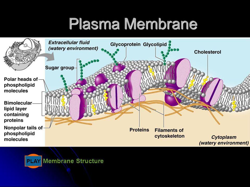 Plasma Membrane PLAY Membrane Structure