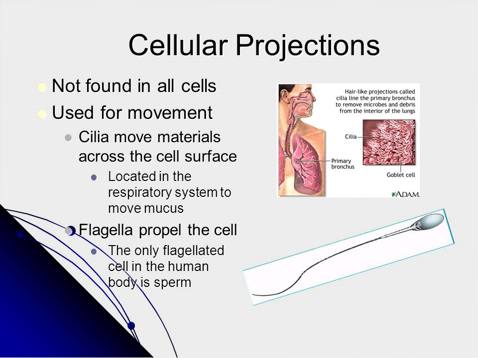 Cellular Projections Not found in all cells Used for movement