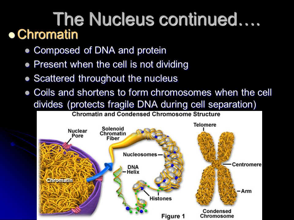 The Nucleus continued….