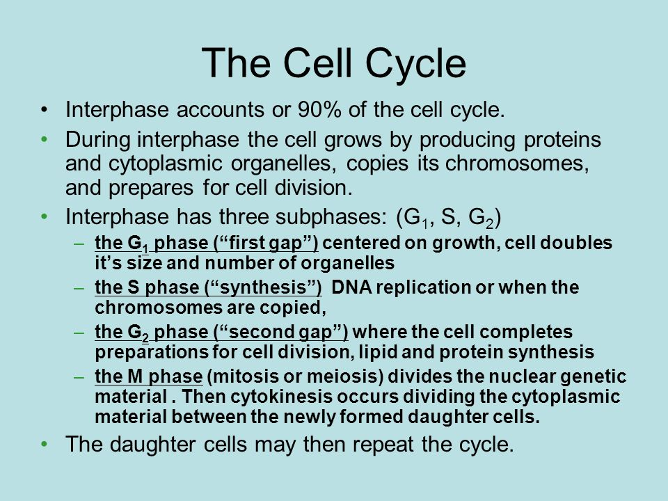 The Cell Cycle Interphase accounts or 90% of the cell cycle.