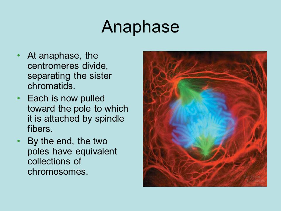 Anaphase At anaphase, the centromeres divide, separating the sister chromatids.