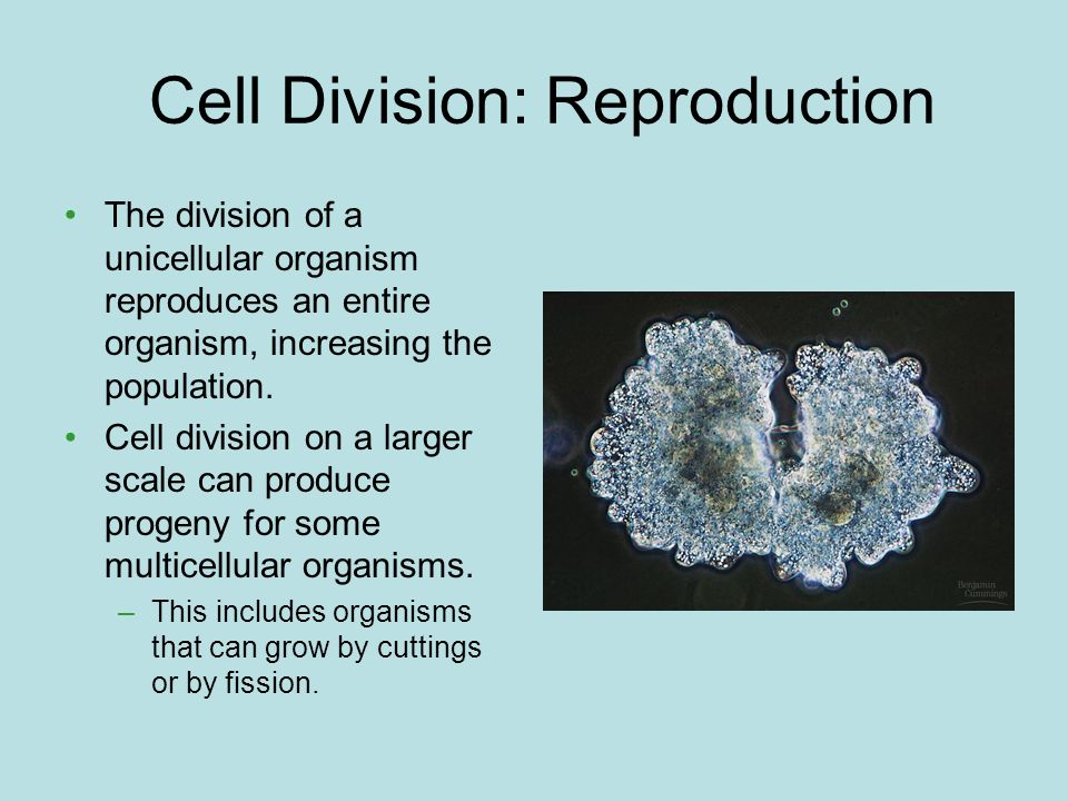 Cell Division: Reproduction