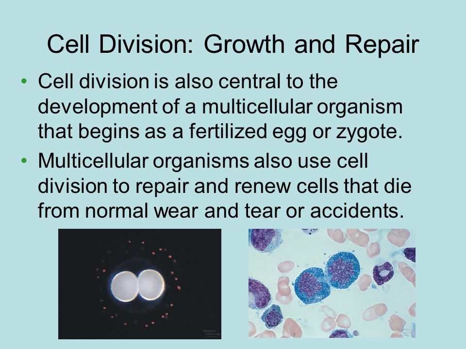 Cell Division: Growth and Repair