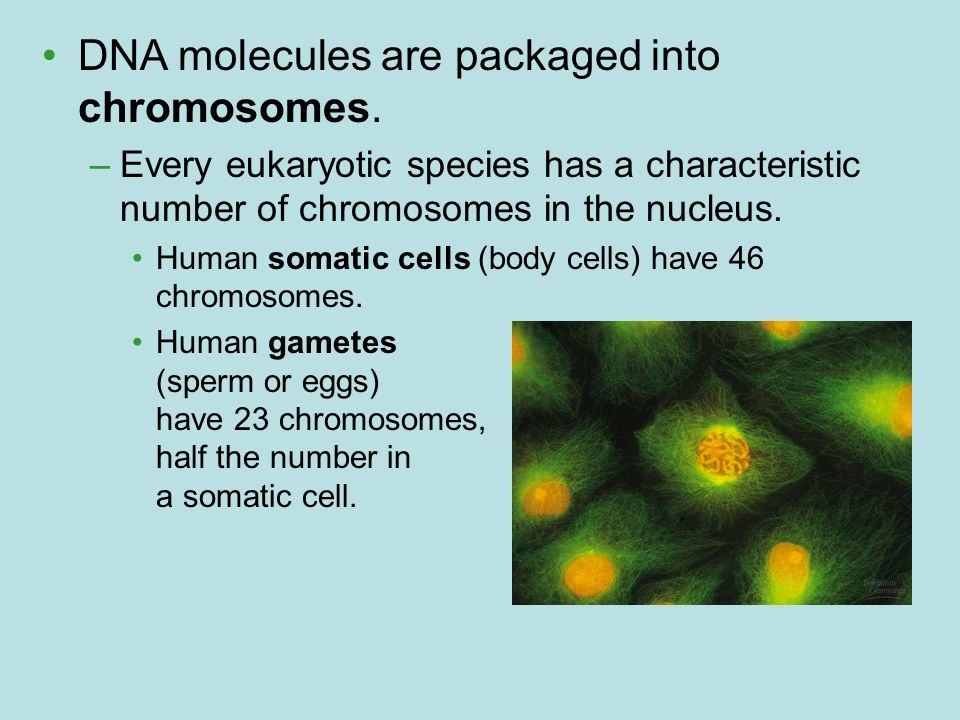 DNA molecules are packaged into chromosomes.