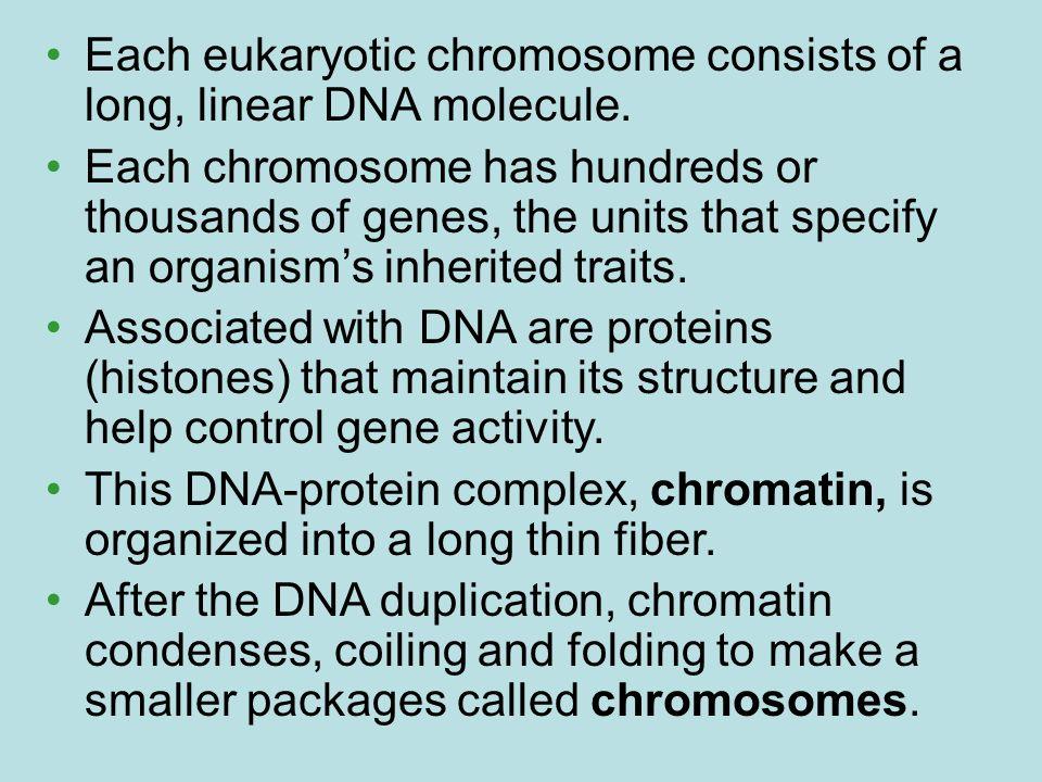 Each eukaryotic chromosome consists of a long, linear DNA molecule.