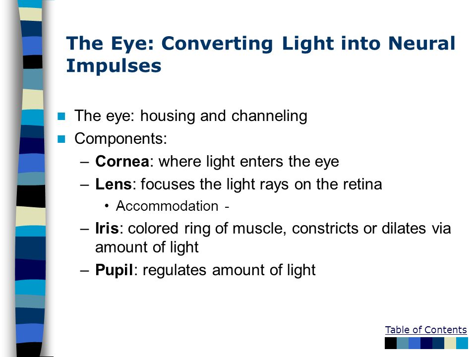 The Eye: Converting Light into Neural Impulses