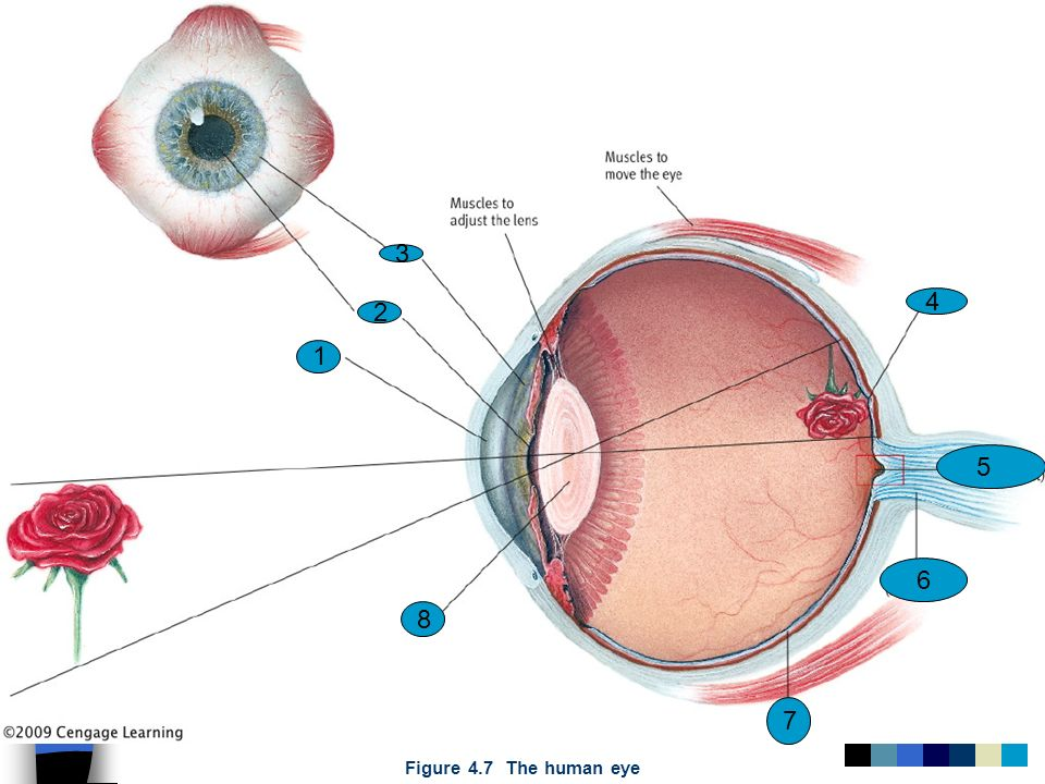 3 4 2 1 5 6 8 7 Figure 4.7 The human eye