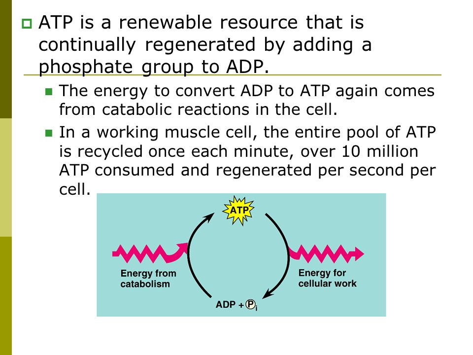 ATP is a renewable resource that is continually regenerated by adding a phosphate group to ADP.