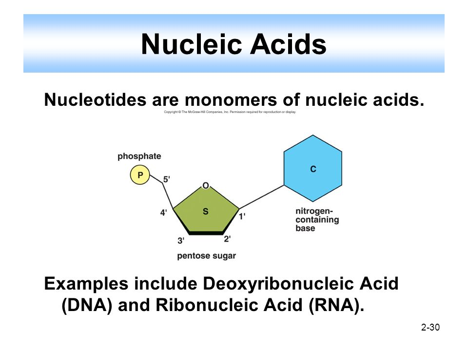 Nucleic Acids Nucleotides are monomers of nucleic acids.
