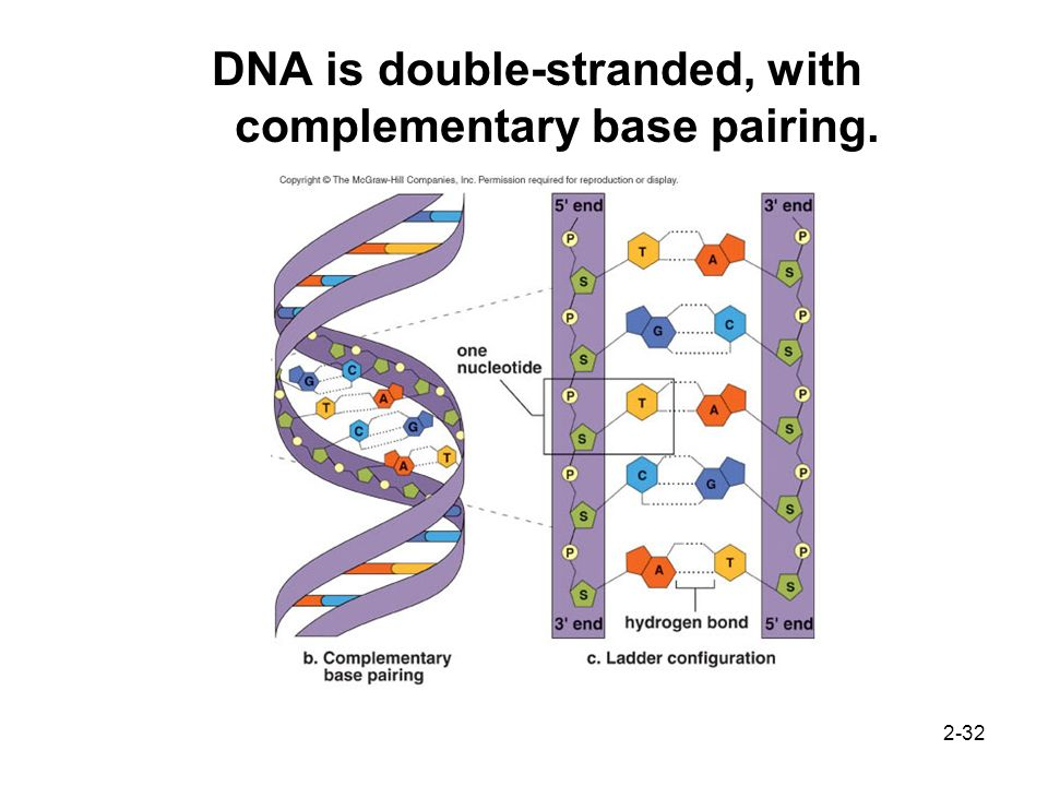 DNA is double-stranded, with complementary base pairing.