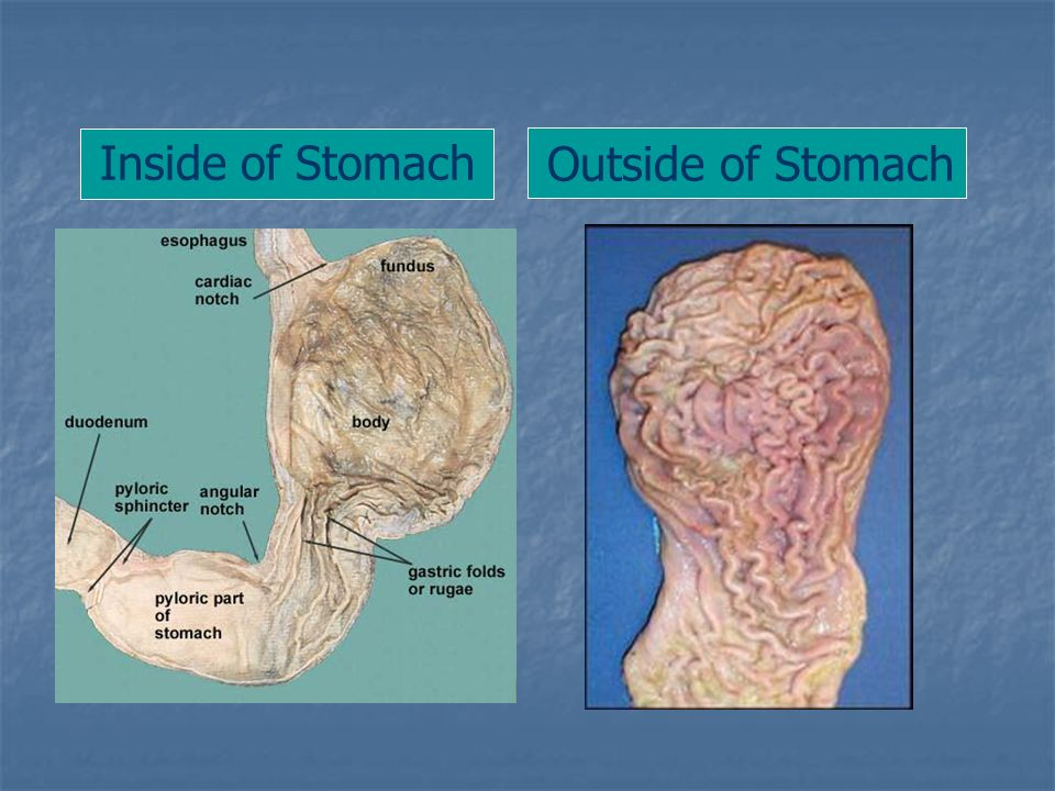 Inside of Stomach Outside of Stomach