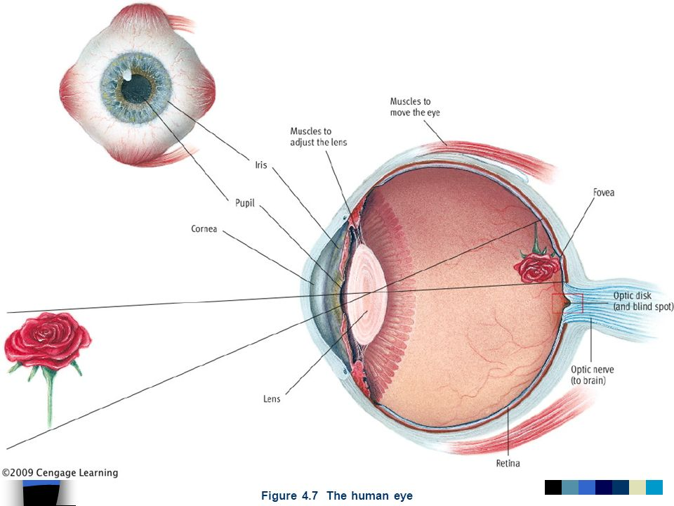 Figure 4.7 The human eye