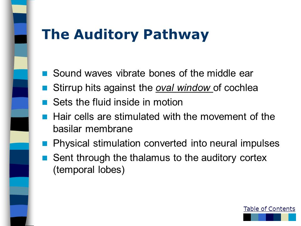 The Auditory Pathway Sound waves vibrate bones of the middle ear