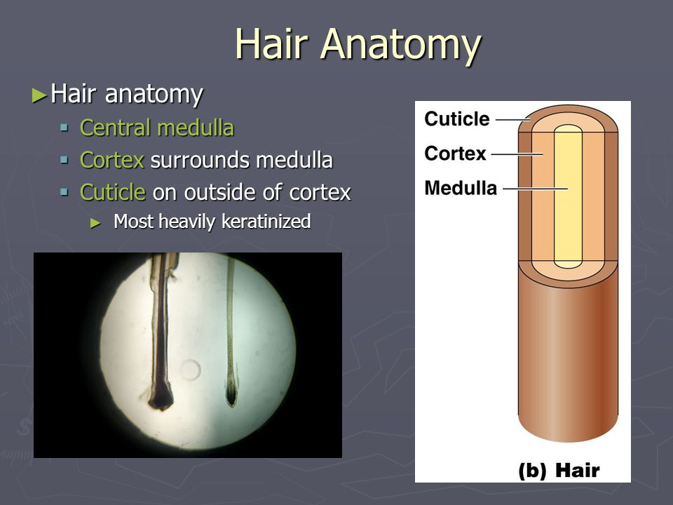 Hair Anatomy Hair anatomy Central medulla Cortex surrounds medulla