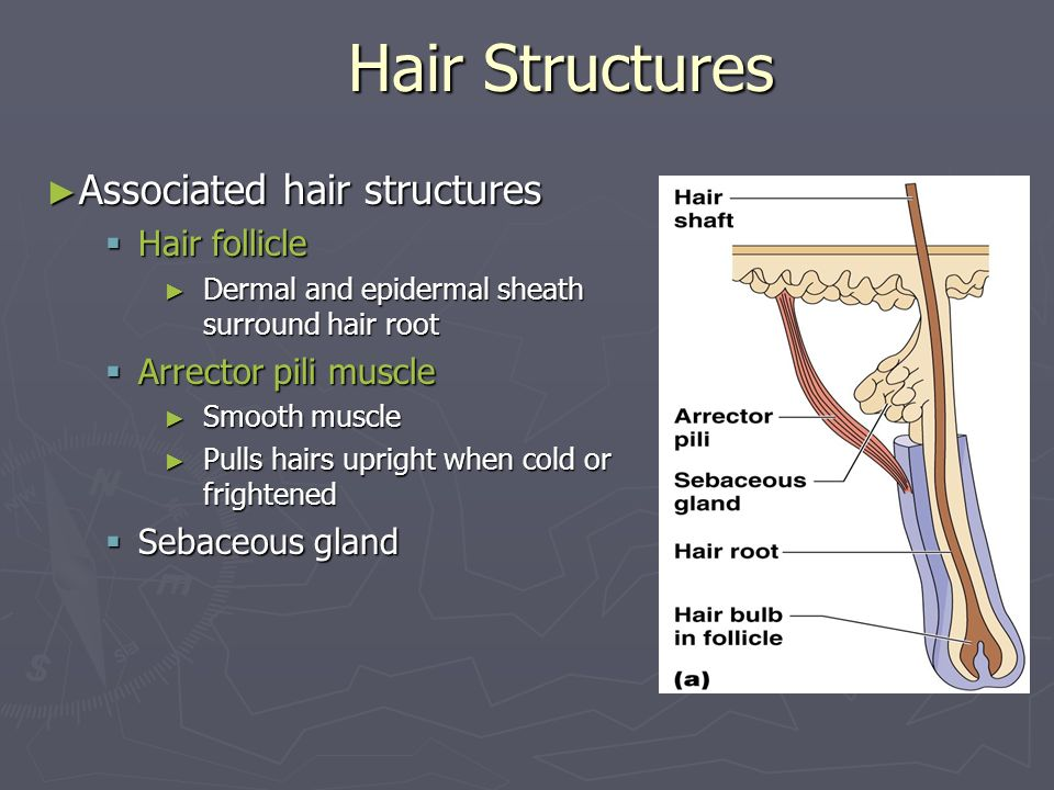 Hair Structures Associated hair structures Hair follicle