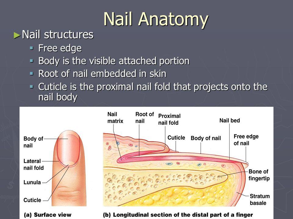 Nail Anatomy Nail structures Free edge