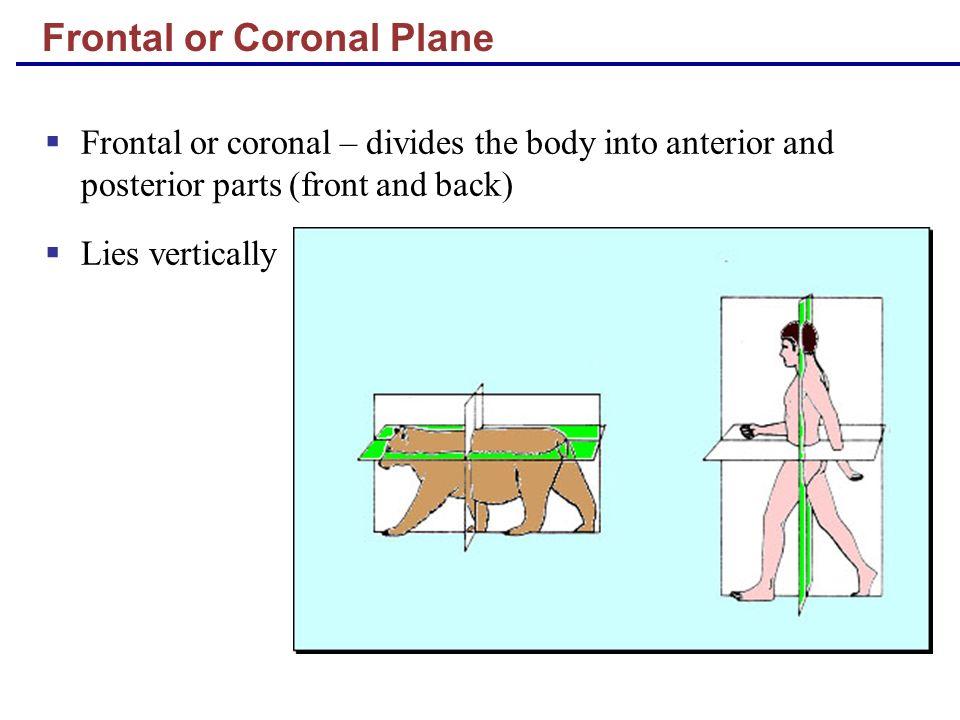 Frontal or Coronal Plane