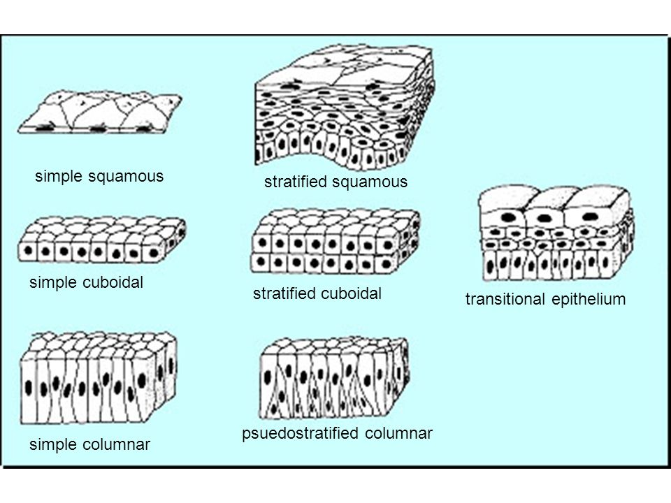 simple squamous stratified squamous. simple cuboidal. stratified cuboidal. transitional epithelium.